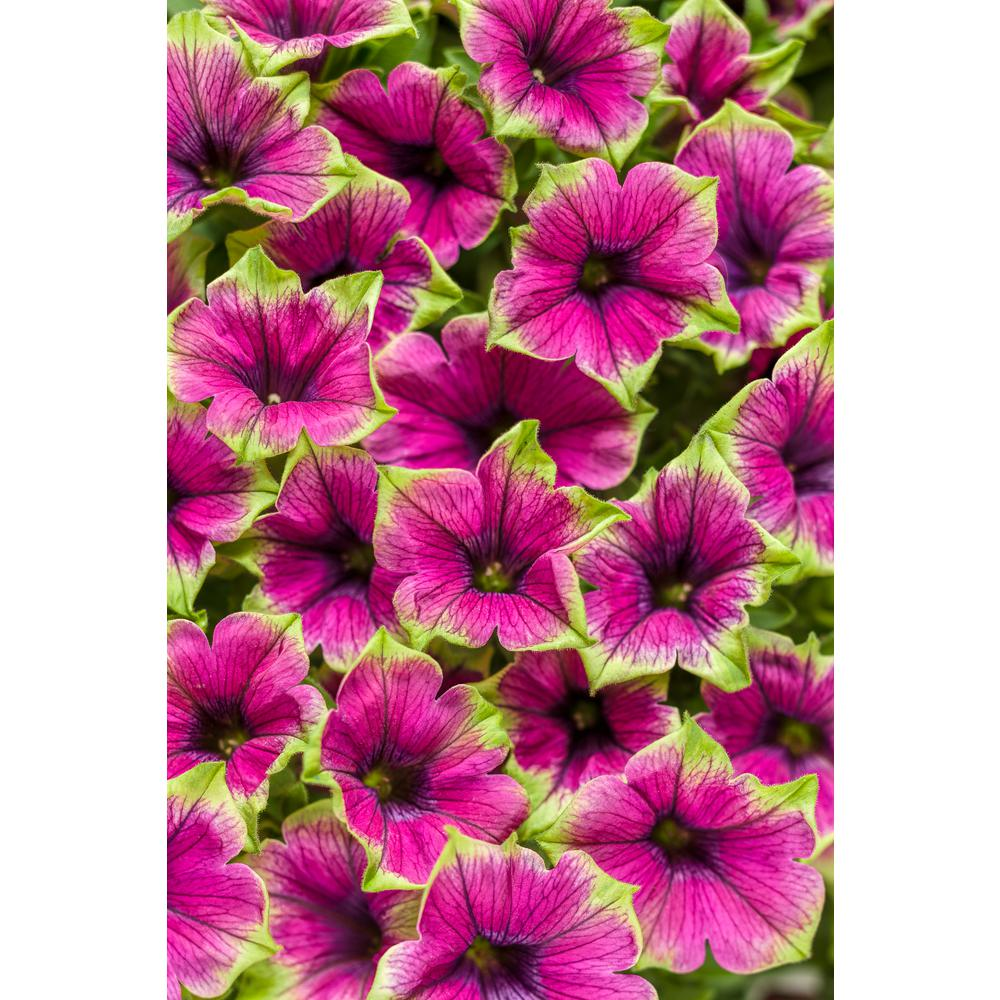 Proven Winners 4.25 in. Supertunia Picasso in Purple (Petunia) Live Plant, Purple Flowers with Green Edges Grande (4-Pack)