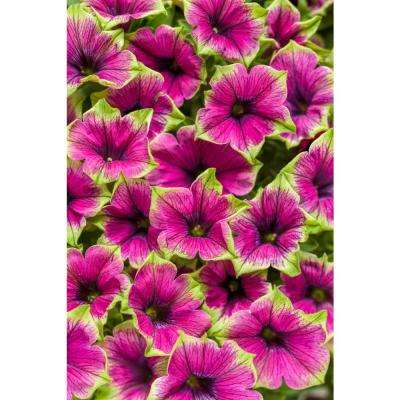 Supertunia Picasso in Purple (Petunia) Live Plant, Purple Flowers with Green Edges, 4.25 in. Grande, 4-pack