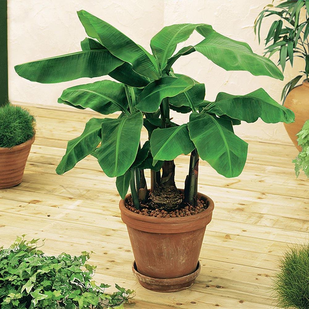 Gurney S 3 In Pot Banana Dwarf Musa
