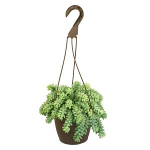 6 in. Assorted Donkey Tails Hanging Basket Plant