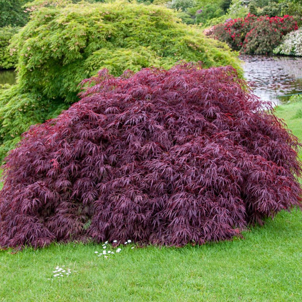 Red Foliage Tamukeyama Japanese Maple (Acer) Tree Live Bareroot Tree (1-Pack)