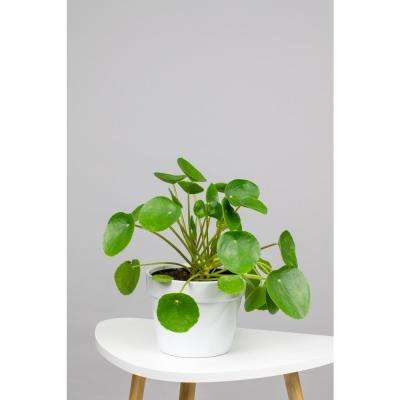 Pilea Peperomioides - Chinese Money Plant in 6 in. Grower Pot