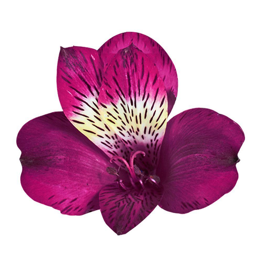 Globalrose Fresh Purple Alstroemeria (100 Stems - 400 Blooms)