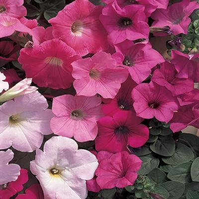 1.25 Gal. Wave Mixed Petunia Hanging Basket