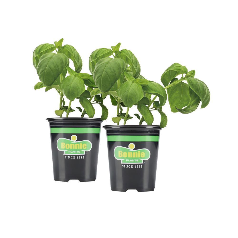 19.3 oz. Sweet Basil (2-Pack Live Plants)