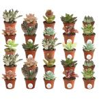 2 in. Mini Unique Succulents in Round Grower Pot (25-Pack)