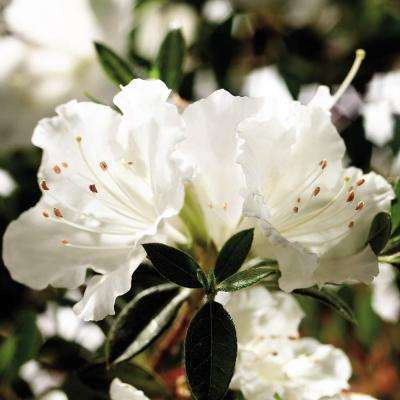 3 Gal. Autumn Angel Encore Azalea Shrub with Clear White Reblooming Flowers