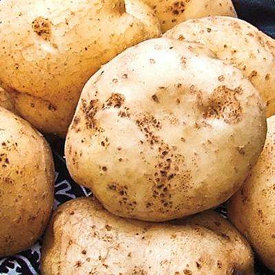 Seed Potato German Butterball (2 lb. Package)