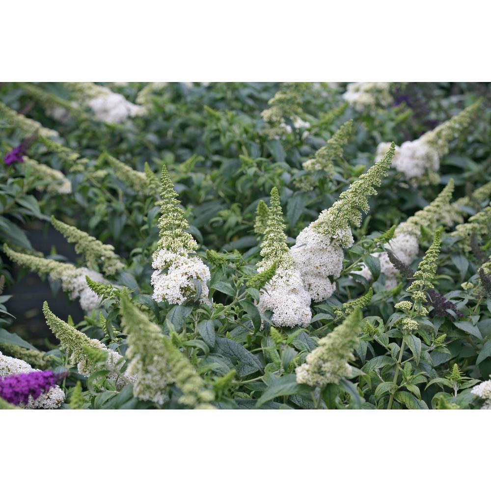 1 Gal. Pugster White Butterfly Bush (Buddleia) Live Shrub, White Flowers