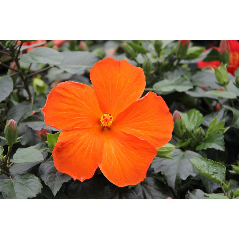 Costa Farms 3 Qt Orange Hibiscus Tropical Live Outdoor Flowers In