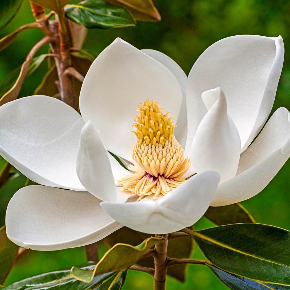Spring Hill Nurseries White Flowers Sweetbay Magnolia Tree Live