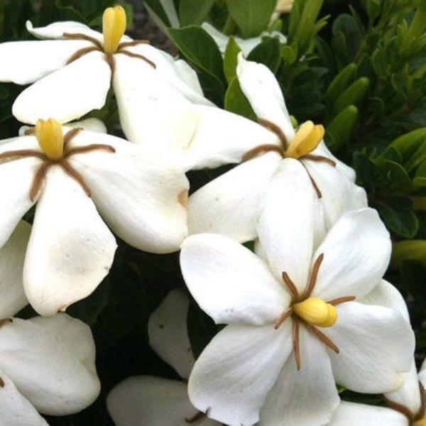 2.5 Qt. Kleim's Hardy Daisy Gardenia, Live Evergreen Shrub, White Fragrant Blooms