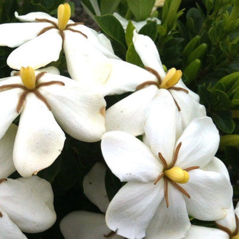 Pot   Kleimu0027s Hardy Daisy Gardenia, Live Evergreen Shrub, White Fragrant  Blooms