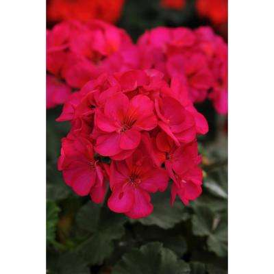 1 Qt. Purple Geranium Flowers in Grower Pot (4-Pack)