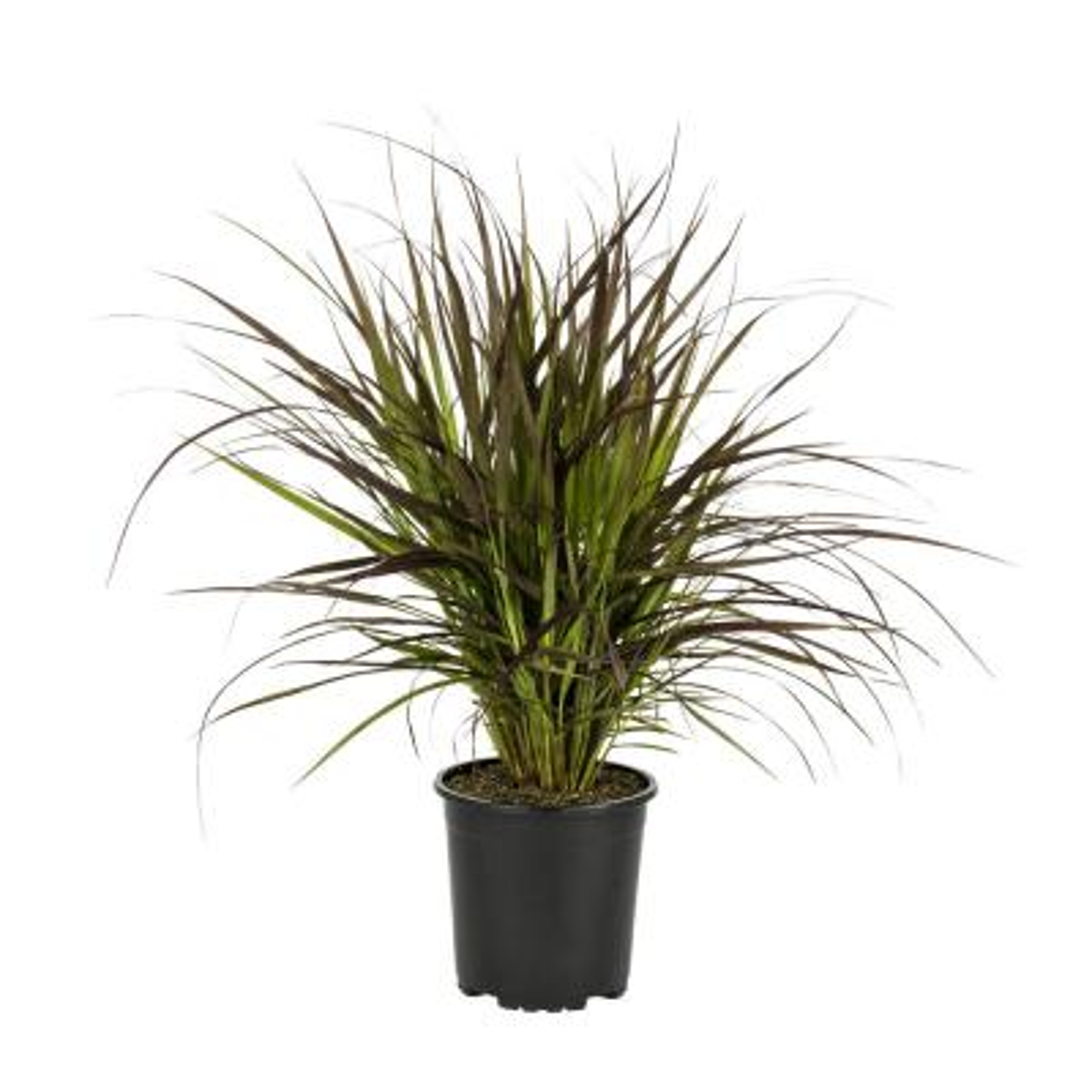2.5 Qt. Purple Fountain Grass Annual Plant