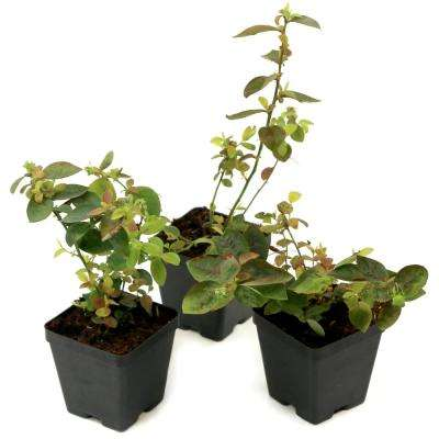 Bushel and Berry 3.5 in. Pots Silver Dollar Blueberry Plants (3-Piece)