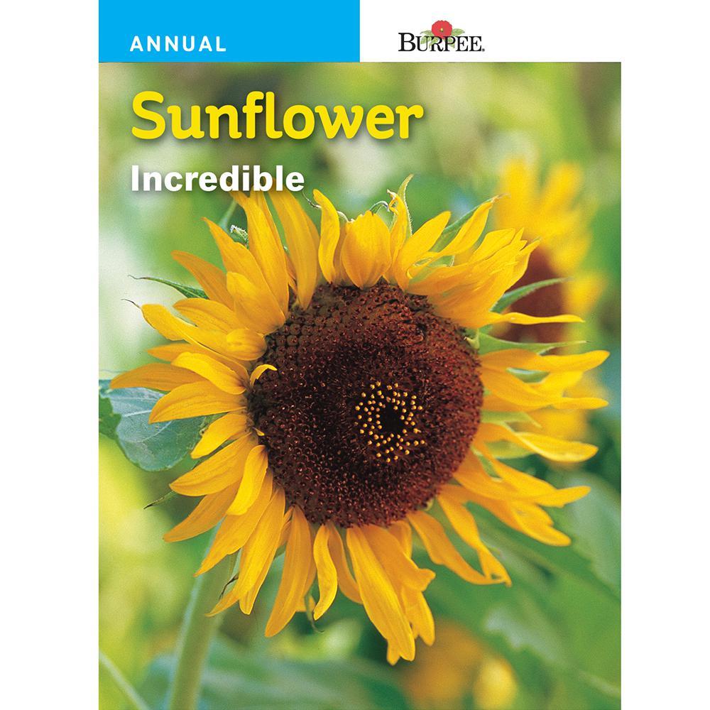 Bur Sunflower Incredible Dwarf Seed