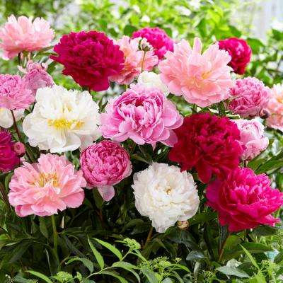Mixed Color Peonies Mammoth Sized Roots Blend (3-Pack)