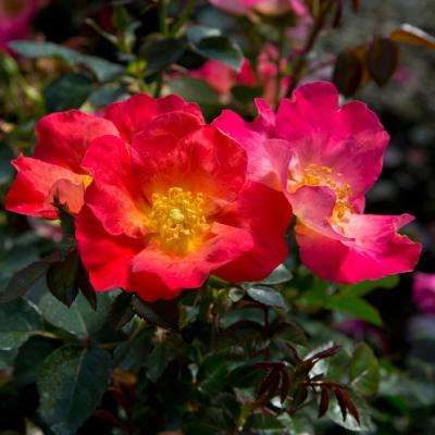 2 Gal. Fruit Punch Shrub Rose - Dark Pink Blooms with Yellow Centers