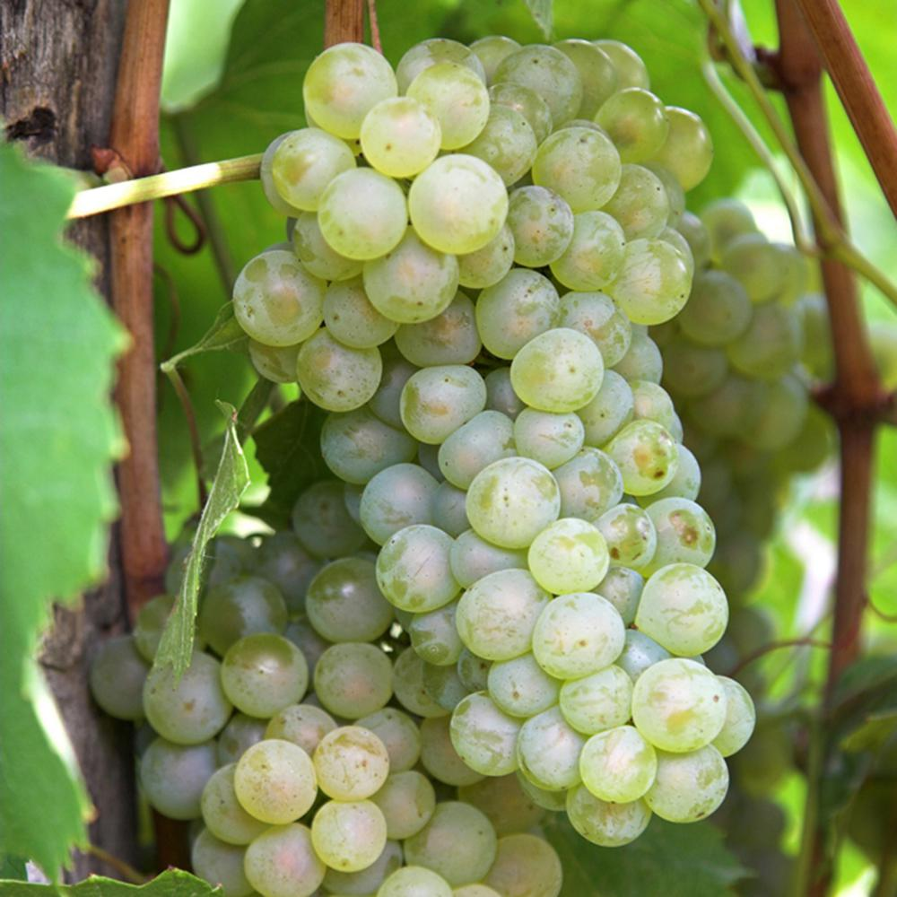 Van Zyverden Grapes Thompson Seedless Plants 3 Pack