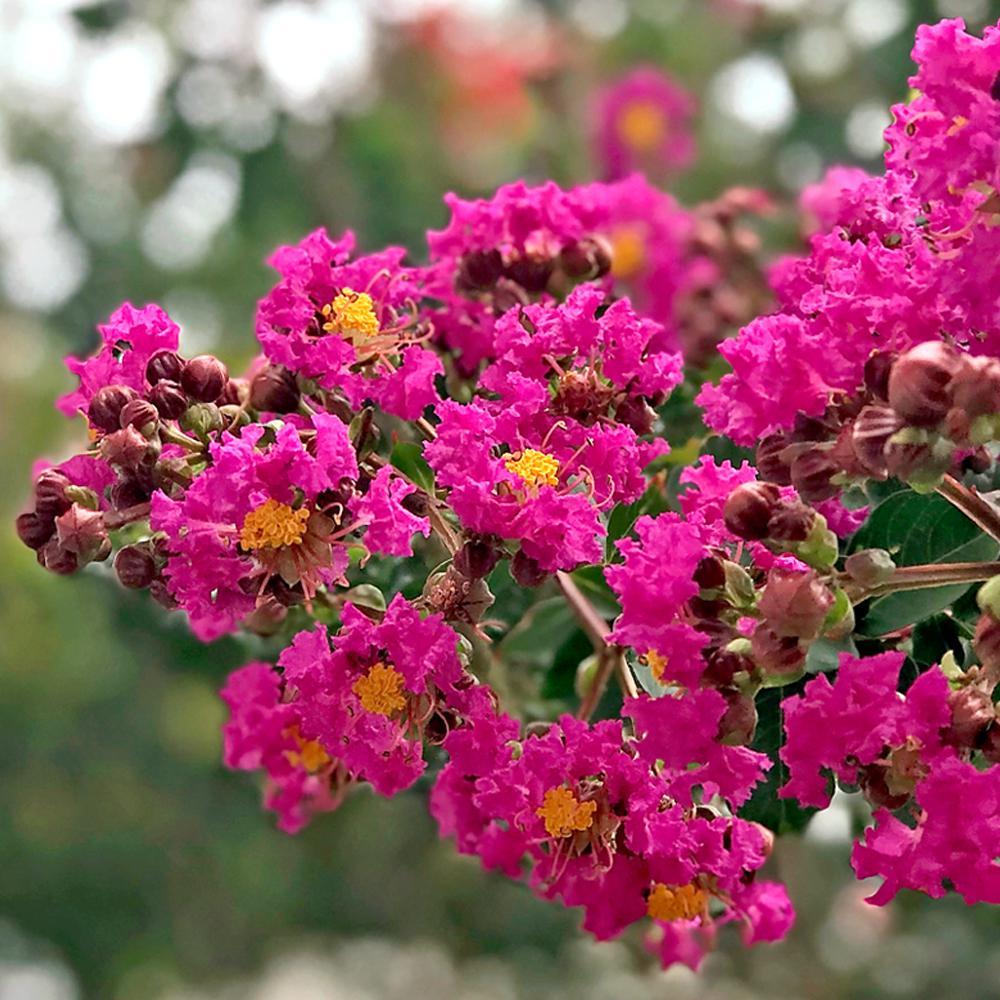 Deep Pink Tonto E Myrtle Tree