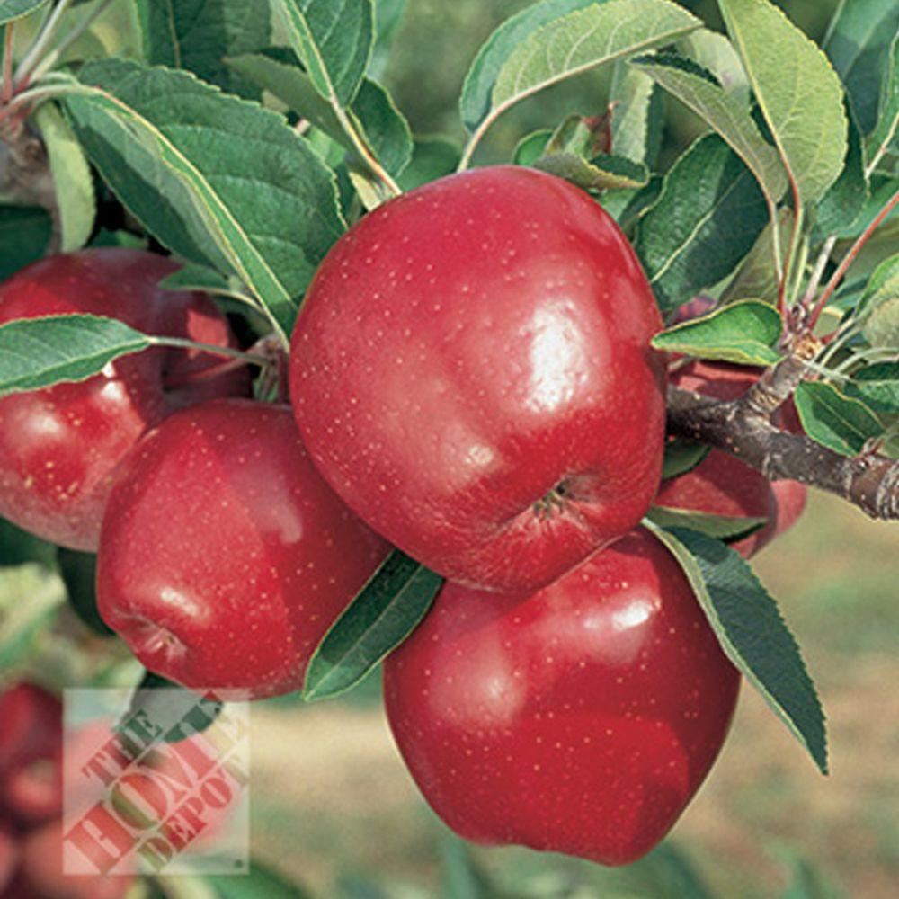 null Red Delicious Apple