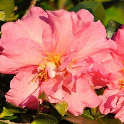 2 Gal. Jessica's Ruffles Camellia(sasanqua) - Evergreen Shrub with Pink Semi-double Blooms