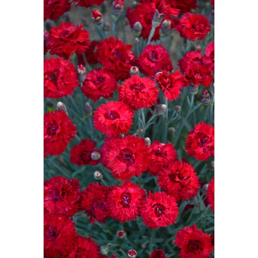 Drought tolerant red perennials garden plants flowers the fruit punch maraschino pinks dianthus live plant red flowers 065 gal mightylinksfo