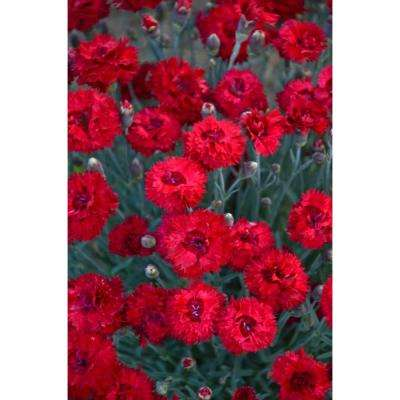 Fruit Punch Maraschino Pinks (Dianthus) Live Plant, Red Flowers, 4.5 in. Qt.