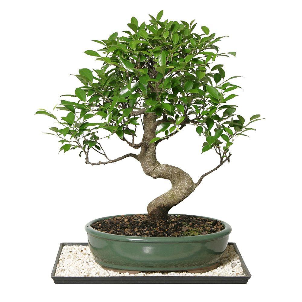 BRUSSEL'S BONSAI Golden Gate Ficus (Indoor)