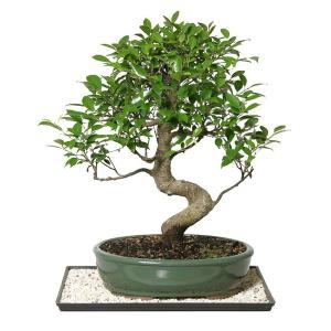 Brussel S Bonsai Golden Gate Ficus Indoor Ct 3004ggf