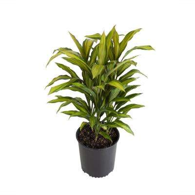 Dracaena Kiwi in 9.25 in. Grower Pot