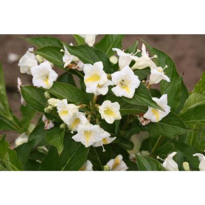 4.5 in. Qt. Czechmark Sunny Side Up (Weigela) Live Shrub, White and Yellow Flowers