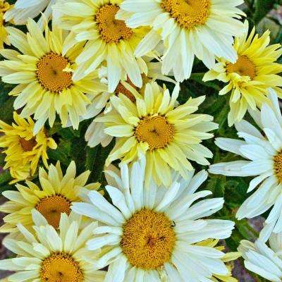 Amazing Daisies Banana Cream Shasta Daisy (Leucanthemum) Live Plant, Yellow Flowers, 4.5 in. Qt.