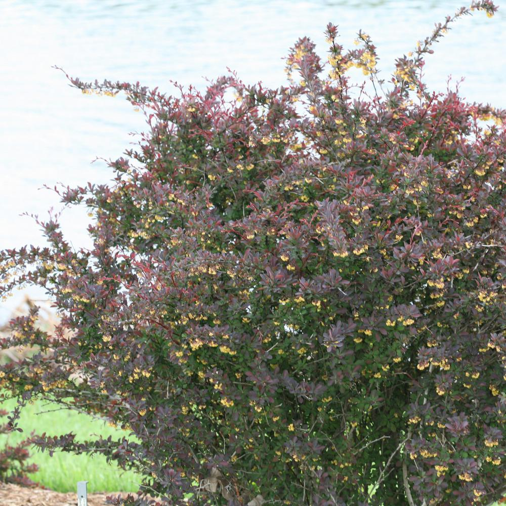 4.5 in. qt. Sunjoy Syrah Barberry (Berberis) Live Shrub, Black-Purple Foliage