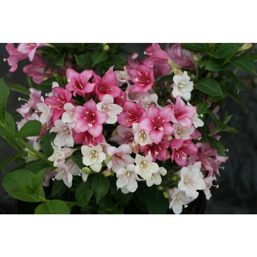 Proven Winners Proven Winners 1 Gal. Czechmark Trilogy (Weigela) Live Shrub, White, Pink, and Red Flowers