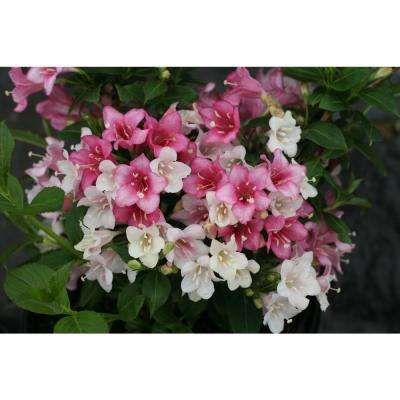 Czechmark Trilogy (Weigela) Live Shrub, White, Pink, and Red Flowers, 3 Gallon