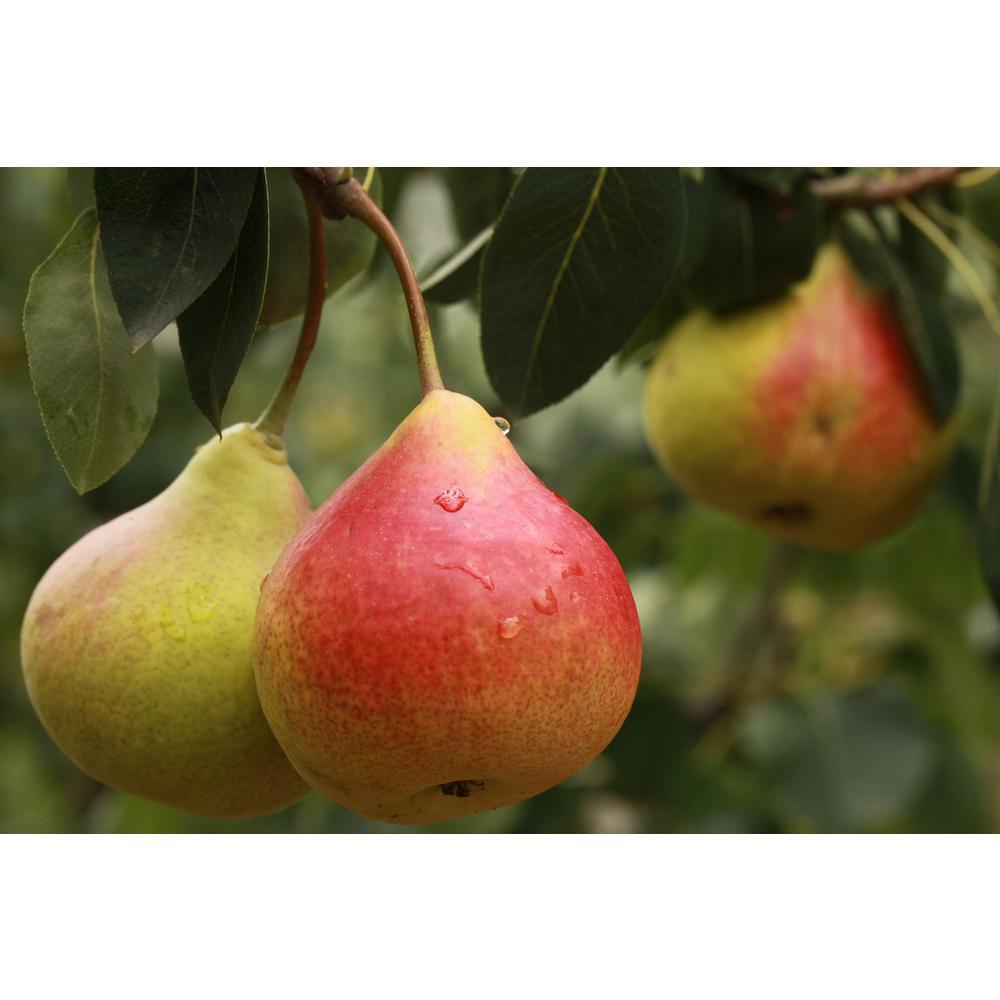 Dwarf Comice Pear Tree Bare Root