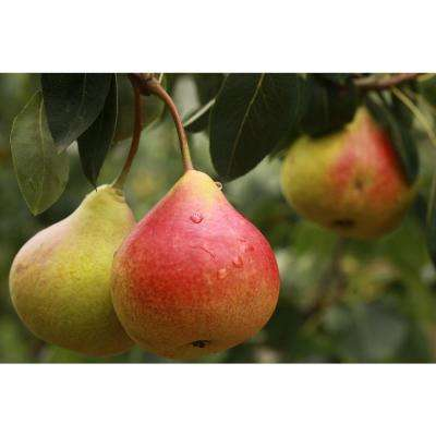 Dwarf Comice Pear Tree Bare Root