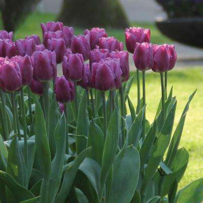 Tulip Purple Lady Bulbs (100-Pack)