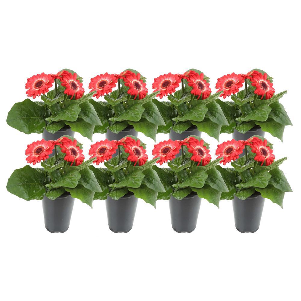 1 Qt. Red Gerbera Flowers in Grower's Pot (8-Pack)