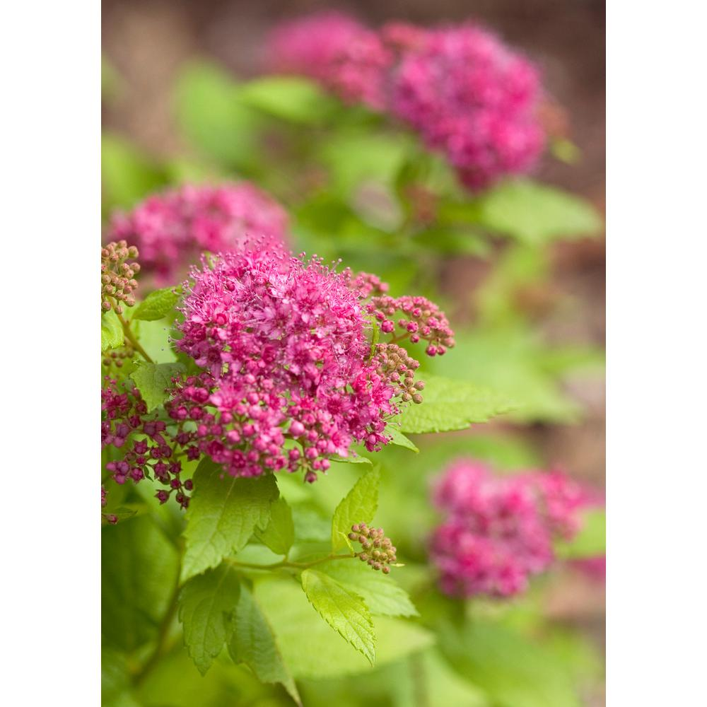 Proven Winners Double Play Gold Spirea Spiraea Live Shrub Pink