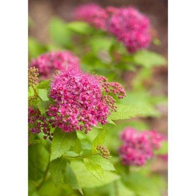 Double Play Gold Spirea (Spiraea) Live Shrub, Pink Flowers with Green and Yellow Foliage, 4.5 in. qt.