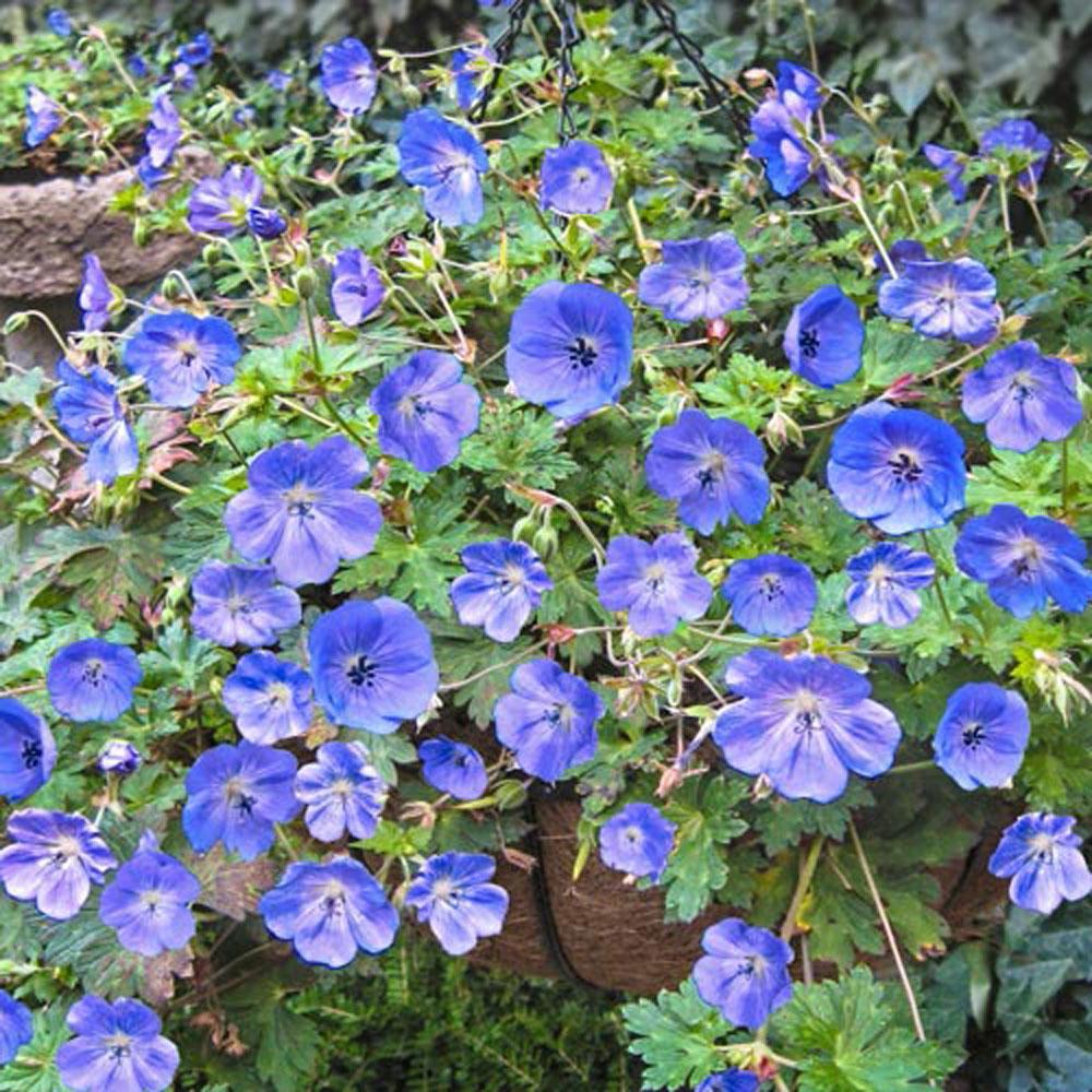 Spring Hill Nurseries Rozanne Hardy Geranium Live Bareroot Perennial Plant Purple Flowers 3 Pack