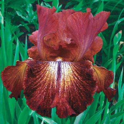 Paprika Fono's Reblooming Iris Live Bareroot Plant Reddish-Brown Yellow and White Flowers (5-Pack)