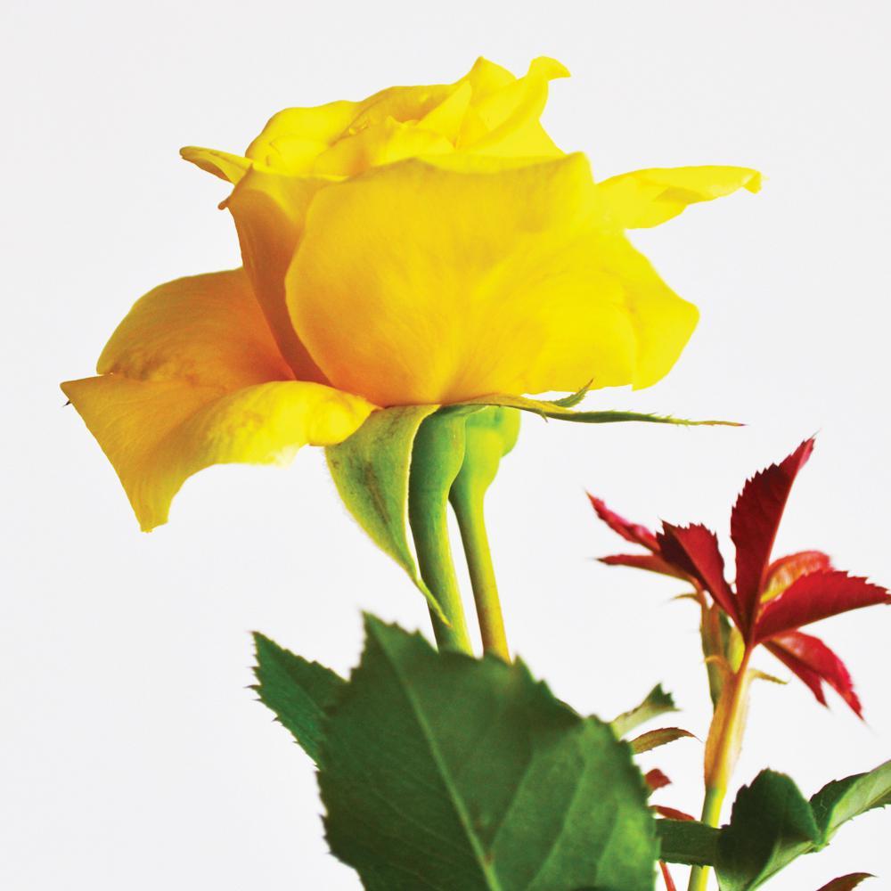 All Time Favorites Rose Golden Masterpiece