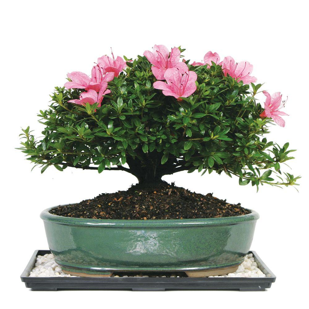 Brussel S Bonsai Satsuki Azalea Bonsai Dt 6016az The Home Depot