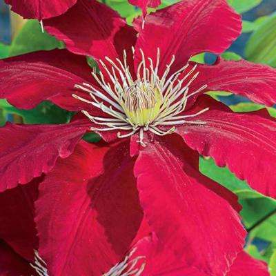 Rebecca Clematis Vine Live Bareroot Perennial Plant with Red Flowers (1-Pack)