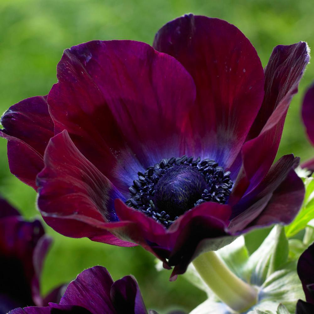 Wind Flowers Anemones Meron Bordeaux Bulbs (Set of 25)