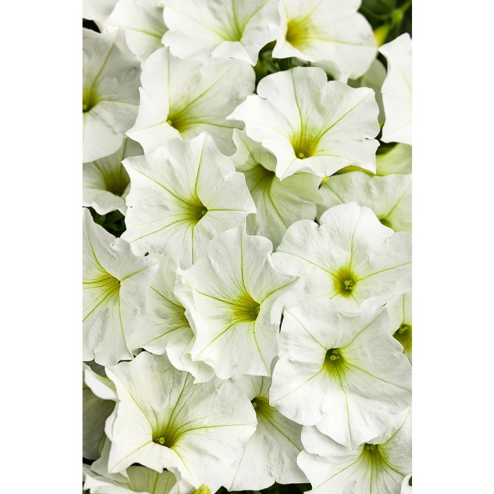 White annuals garden plants flowers the home depot supertunia white petunia live plant white flowers 425 in grande mightylinksfo